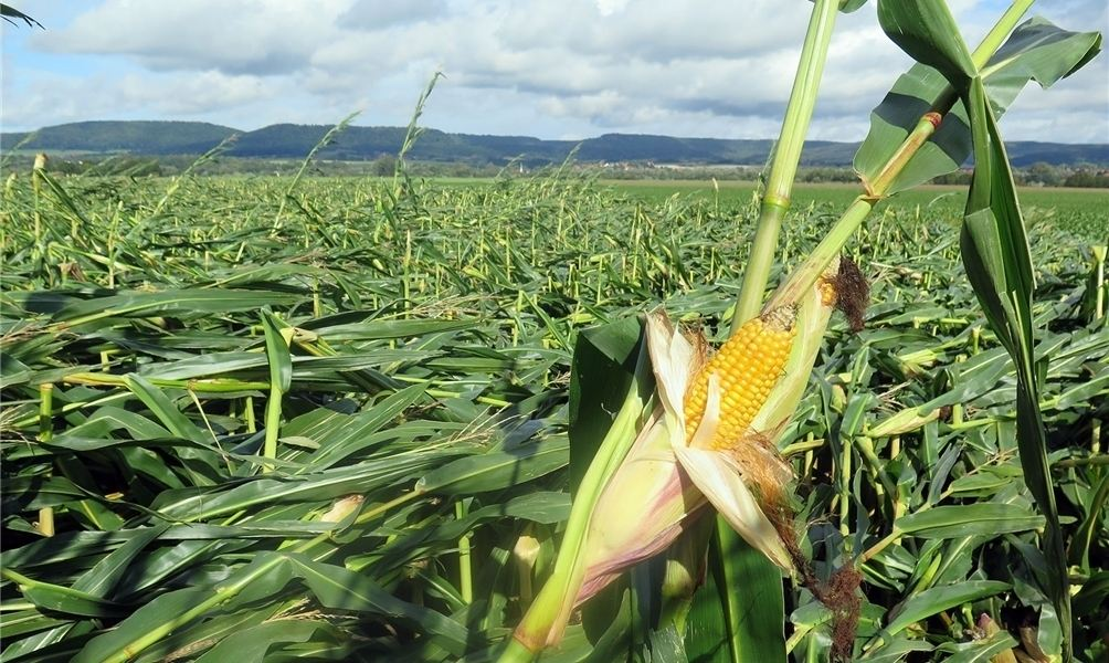 Sturm verw stet maisfelder for Pflanzen im raum