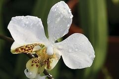 270_008_4429313_frei108_3112_AS_Phalaenopsis.jpg